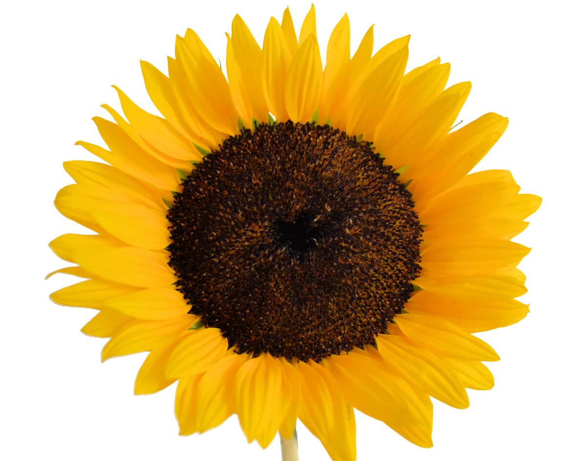 Slunečnicový olej na vlasy 2