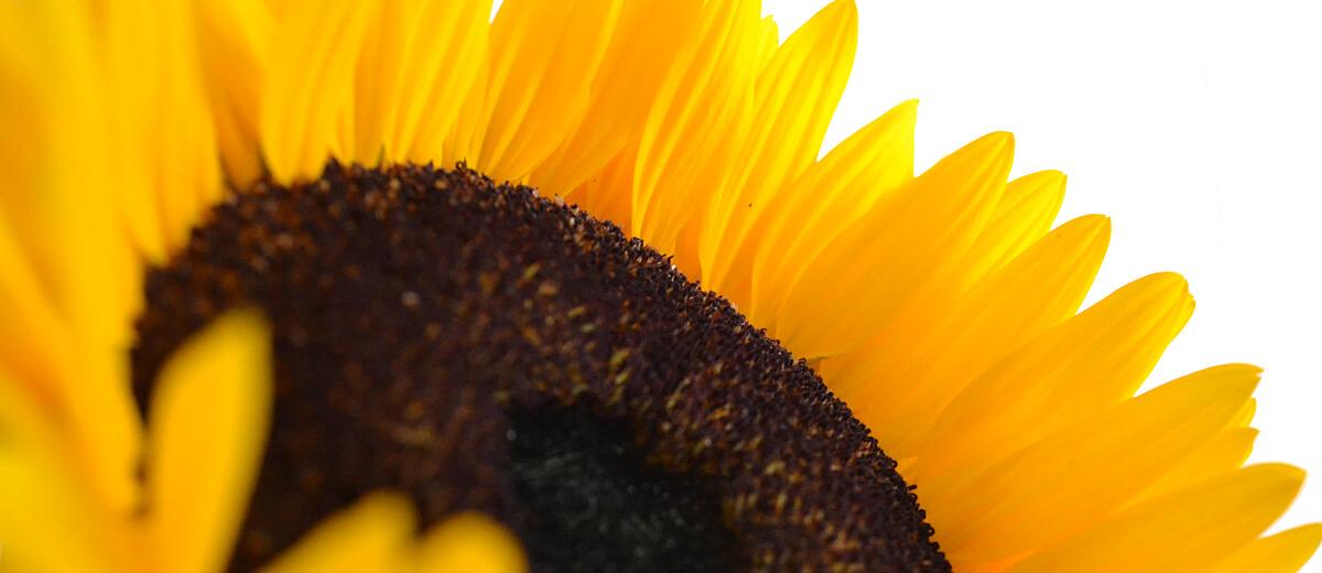Slunečnicový olej na vlasy