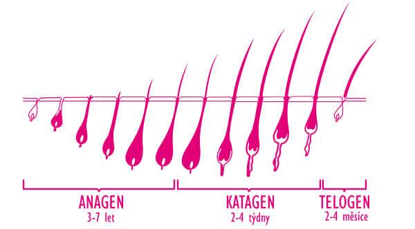 Životní cyklus vlasu