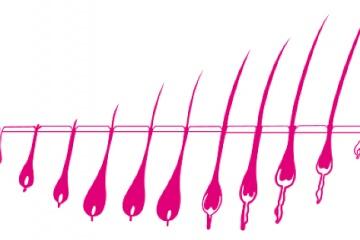 Životní cyklus vlasů